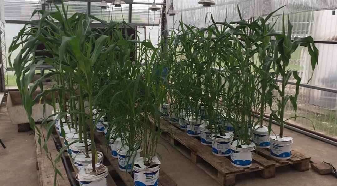 La idea surgió por parte de Glutal, empresa que se dedica a la molienda húmeda de maíz para la obtención de ingredientes de uso alimenticio, farmacéutico e industrial, y para productos para nutrición animal.